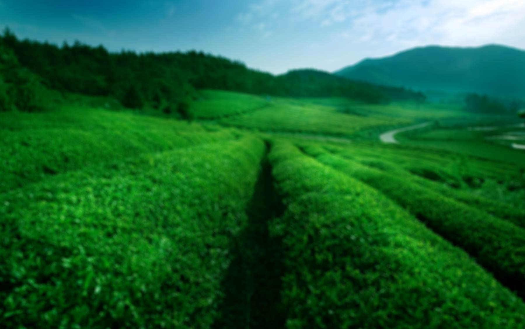 Mulberry Tea Valley
